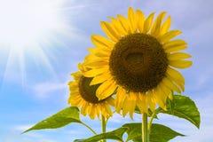 pojedynczy white kwiatek słońca Zdjęcia Stock