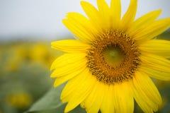 pojedynczy white kwiatek słońca obraz royalty free