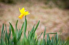 Pojedynczy wiosny daffodil zbliżenie Fotografia Stock