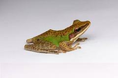 Pojedynczy wizerunki żaba obraz royalty free