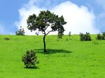 Pojedynczy wysoki drzewo Zdjęcia Stock