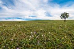 Pojedynczy ypung drzewo na zieleni polu, różowa jesień kwitnie na przedpolu zdjęcia stock
