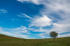 Pojedynczy ypung drzewo na zieleni polu, różowa jesień kwitnie na przedpolu zdjęcie royalty free
