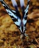 Pojedynczy zebry swallowtail Obraz Stock