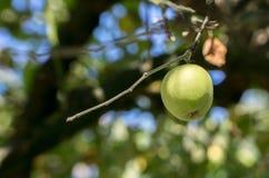Pojedynczy zielony jabłczany obwieszenie na gałąź Obraz Stock