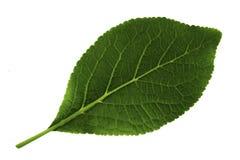Pojedynczy zielony liść odizolowywający na białym tle śliwka, dna liść strona fotografia royalty free
