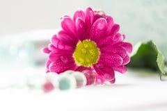 Pojedynczych różowych chryzantem kwiatów zamknięty up makro- macrophoto Zdjęcie Royalty Free