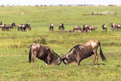 Pojedynek dwa samiec Sawanna Masai Mara Kenja, Afryka Zdjęcie Stock