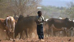 Pojke som ansar en flock av nötkreatur Tanzania Tom Wurl Arkivbilder