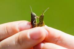 Pojke som rymmer två gräshoppor i sommardagen arkivbild