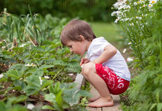 Pojke som samlar nya jordgubbar Arkivbilder