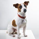Pojkehundavel Jack Russell Terrier arkivfoton