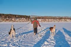 Pojken 10 gamla år kommer med två siberian skrovligt på snöig blytak för fältsmåbarnägare på skrovlig hundkapplöpning för kopplar royaltyfri foto