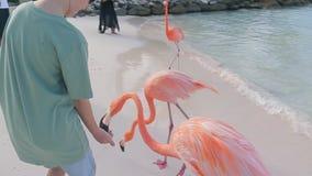 Pojken matar flamingo på stranden av Aruba stock video