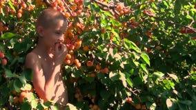 Pojken samlar aprikors stock video