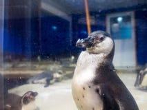 Pojken ser pingvinet till och med en spegel i ett kallt rum in Arkivbild
