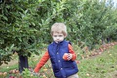Pojkeplockningäpplen Fotografering för Bildbyråer