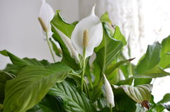 Pokój lelui kwiat Obraz Stock