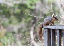 pokładu poręcza wiewiórka Obraz Stock