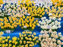 Pokazuje ogród z Daffodils kwiatami Fotografia Royalty Free