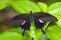 pokazywać skrzydło Zdjęcie Royalty Free