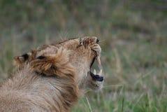 pokazywać zęby jego lew Fotografia Stock