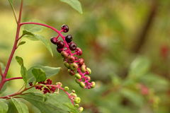 Poke Weed Berries Royalty Free Stock Images
