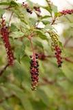 Poke Weed Berries Royalty Free Stock Image