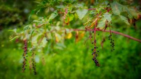 Poke weed bush stock photos