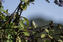 Pokeberry Blickkontakt des Palmen-Trällerers Lizenzfreies Stockfoto
