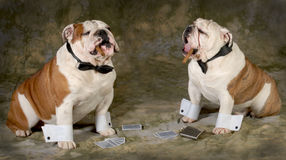 Poker game. Two bulldogs playing a serious game of poker Royalty Free Stock Photos