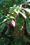 Pokeweed stock afbeelding