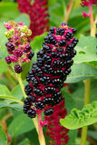 Pokeweed Obrazy Royalty Free