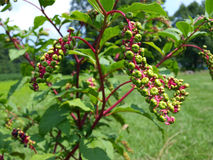 Pokeweed photographie stock