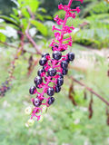 Pokeweed Photo stock