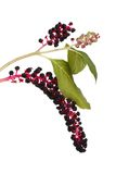 Pokeweed berries on a branch isolated on white stock photography
