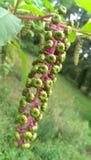 Pokeweed Berries stock photography