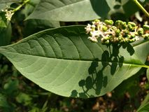 Pokeweed buds in the late afternoon stock photography