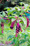 Pokeweed. Detail of a Phytolacca decandra Royalty Free Stock Images