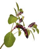 Pokeweed isolated on white Stock Image