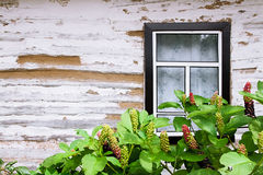 Pokeweed or pokeberry foliage and fruit and wooden wall from log Stock Image