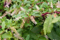 Phytolacca americana, the American pokeweed or simply pokeweed, is a perennial herbaceous plant of the family Phytolacaceae. stock photo