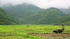 POKHARA, ΝΕΠΑΛ - ΤΟΝ ΙΟΎΝΙΟ ΤΟΥ 2013: όργωμα αγροτών με το βόδι απόθεμα βίντεο