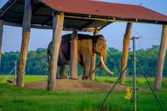 POKHARA, НЕПАЛ - 4-ОЕ НОЯБРЯ 2017: Прикованный слон под структурой на outdoors, в национальном парке Chitwan, Непал Стоковая Фотография