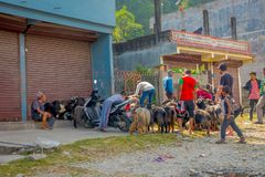POKHARA, НЕПАЛ, 4-ОЕ СЕНТЯБРЯ 2017: Shepherd позаботьтесь о стада коз, идя вперед маленького города в Pokhara, Непал Стоковые Фотографии RF