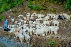 POKHARA, NEPAL, IL 4 SETTEMBRE 2017: Conduca prendono la cura delle moltitudini di capre, andanti lungo la via della cittadina de Fotografie Stock Libere da Diritti