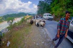 POKHARA, NEPAL, IL 4 SETTEMBRE 2017: I pastori prendono la cura delle moltitudini di capre, andanti lungo la via con alcune autom Immagine Stock