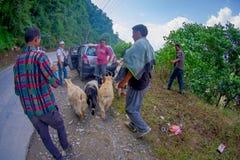 POKHARA, NEPAL, IL 4 SETTEMBRE 2017: I pastori prendono la cura delle moltitudini di capre, andanti lungo la via con alcune autom Immagini Stock