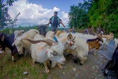 POKHARA, NEPAL, IL 4 SETTEMBRE 2017: I pastori prendono la cura delle moltitudini di capre, andanti lungo la via della cittadina  Fotografia Stock