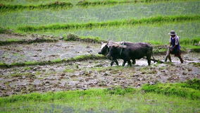 POKHARA, NEPAL - JUNE 2013: farmer plowing with ox